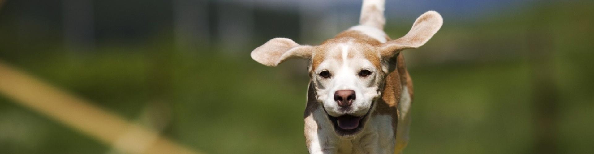 beagle, kutya, kutyaszeretet, kutyás, szeretet, kutyám, kutyák, boldog, boldogság,