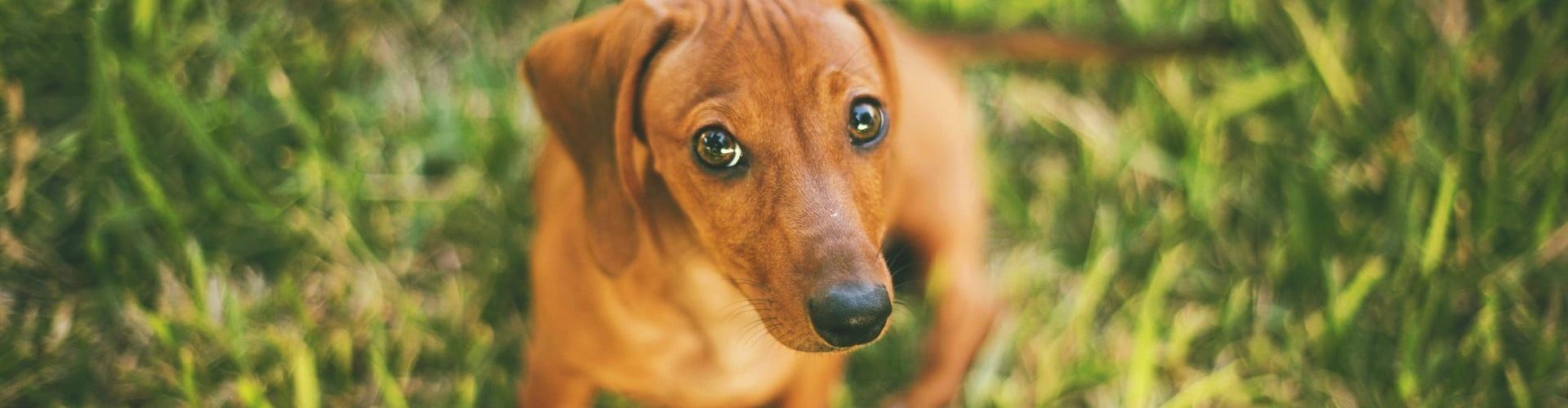 tacskokolyok, tacskó, tacsko, kölyök, kutya, kutyaszeretet, kutyaszemek, kutyás, kutyák,